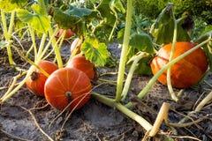 Organic pumpkin field Stock Image