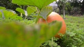 Organic pumpkin growth. Fresh big organic pumpkin growth on garden grounds, sliding camera movement stock video
