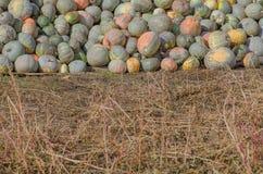 Organic pumpkin on vegetable garden Royalty Free Stock Photography