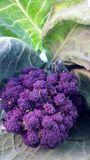 Organic purple sprouting broccoli and cabbage. Close up Stock Photography
