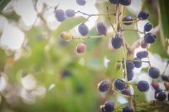 Organic purple Syzygium cumini fruits on tree. Syzygium cumini, stock image