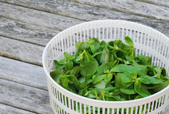 Organic purslane in basket Stock Photography