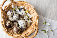 Organic quail eggs and snowdrop flowers Royalty Free Stock Photos
