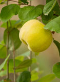 Organic Quince Royalty Free Stock Photo