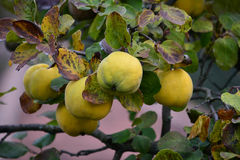 Organic quince on branch. Fresh, ripe  organic quince on branch with autumn leaves before picking Stock Photos
