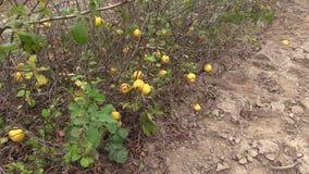 Organic quince bush in botanic garden stock video