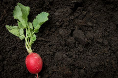 Organic radish farming Royalty Free Stock Images