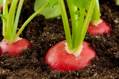 Organic radish grows in the ground Stock Photography