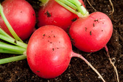 Organic radish grows in the ground Royalty Free Stock Photos