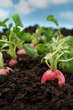Organic radish vegetable. Still in the earth Stock Photography