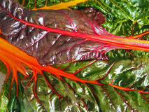 Organic Rainbow Chard. Bright, colorful rainbow chard from the local, organic farm stand Stock Image
