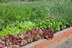 Organic Raised Bed Lettuce Garden. This organic raised bed lettuce garden shows red and green lettuce, also some carrots and garlic for a fresh, home grown royalty free stock photos
