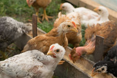 Organic raised chickens. In the countryside - feeding Stock Images