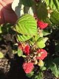 Organic raspberries branches closeup Stock Photos