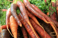 Organic Raw Black and Orange Carrots from the farm. These are are special variety of organic carrots that look black and orange Stock Image