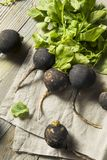 Organic Raw Black Radishes. In a Bunch Royalty Free Stock Photo