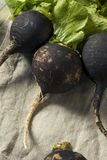 Organic Raw Black Radishes. In a Bunch Stock Photography
