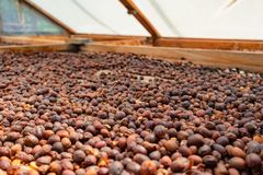 Organic Raw Coffee Beans Drying In Wooden Crate. Organic raw coffee beans or red cherry fruits drying in wooden crate royalty free stock photo