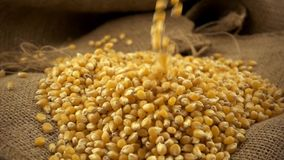 Organic, raw, dried corn or maize kernels falling on heap of corn kernels on burlap sack in slow motion. Organic, raw, dried corn or maize kernels falling on stock footage