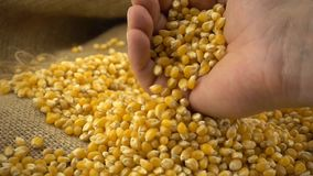 Organic, raw, dried corn or maize kernels falling from male hand on heap of corn kernels on burlap sack in slow motion. Organic, raw, dried corn or maize kernels stock video