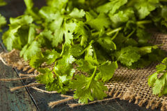 Organic Raw Green Cilantro Royalty Free Stock Photography