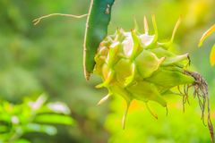 Organic raw green dragon fruit hanging on tree. Pitahaya or drag Royalty Free Stock Photography