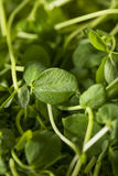 Organic Raw Green Pea Shoots Stock Images