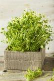 Organic Raw Green Pea Shoots Stock Photos
