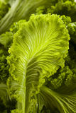 Organic Raw Mustard Greens Royalty Free Stock Photography
