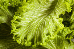 Organic Raw Mustard Greens Stock Photography