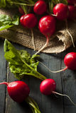 Organic Raw Red Radishes Royalty Free Stock Photo