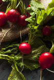 Organic Raw Red Radishes Stock Photos