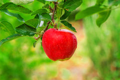 Organic red apple on branch Royalty Free Stock Photo