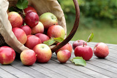Organic red apples in a basket on the old table Royalty Free Stock Image
