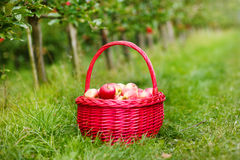 Organic red apples in a Basket outdoor. Orchard. Autumn Garden. Royalty Free Stock Photos
