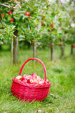 Organic red apples in a Basket outdoor. Orchard. Autumn Garden. Royalty Free Stock Photo