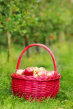 Organic red apples in a Basket outdoor. Orchard. Autumn Garden. Stock Photo