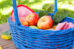 Organic red apples in a Basket outdoor. Orchard. Autumn Garden. Stock Photography