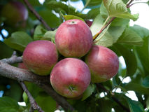 Organic red apples on branch Stock Images