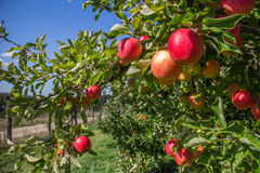Organic red apples in apple orchard. Apple orchard with organic red ripe apples at the farm Royalty Free Stock Image