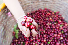 Organic red cherries coffee beans in hand Stock Images