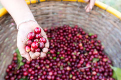 Organic red cherries coffee beans in hand Royalty Free Stock Photography