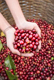 Organic red cherries coffee beans in hands Royalty Free Stock Photography