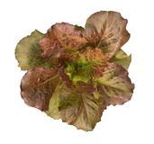 Organic red cos lettuce moonred hydroponic vegetable plant top view isolated on white background, path Royalty Free Stock Images