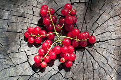 Organic red currant Stock Images