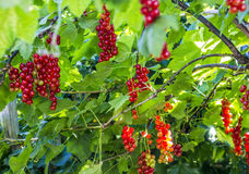 Organic red currants Royalty Free Stock Photography