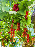 Organic red currants Stock Photo
