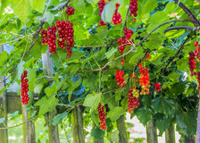 Organic red currants Royalty Free Stock Images