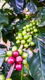 Fresh cherries coffee beans on tree branch. Organic red and green coffee cherries on tree branch in the garden,Thailand Stock Photography