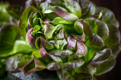 Organic Red Oakleaf lettuce Stock Photography